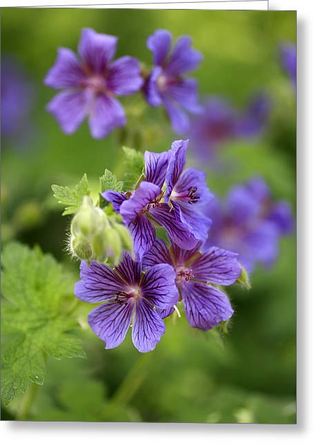Geranium Flower Close Up Greeting Cards - Geranium Himalayense Greeting Card by Frank Tschakert