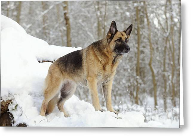 German Shepherd Dog Greeting Card by John Daniels