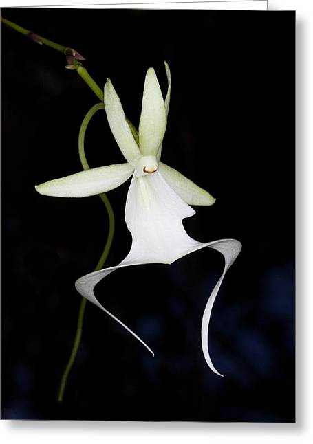 Ghost Orchid In Bloom, Polyrrhiza Greeting Card by Maresa Pryor