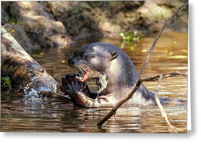 Giant Otter Feeding Greeting Card by Paul Williams