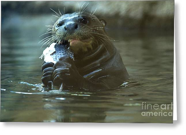 Brasiliensis Greeting Cards - Giant Otter Greeting Card by Mark Newman