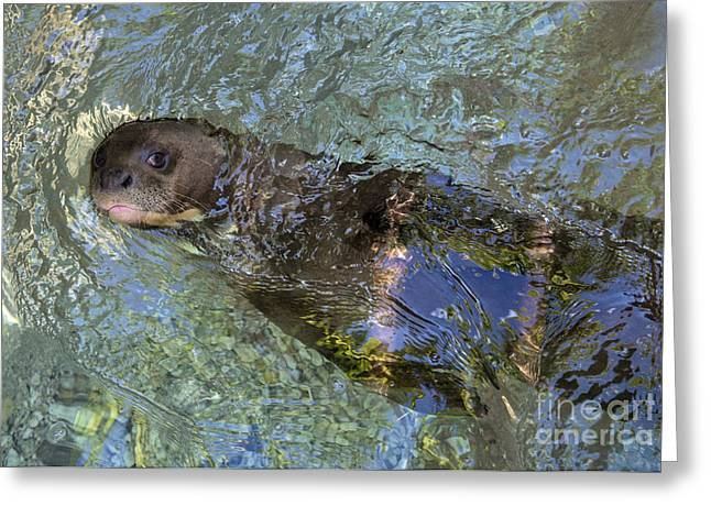 Brasiliensis Greeting Cards - Giant River Otter Greeting Card by Mark Newman