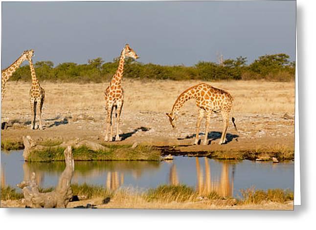 Giraffes Giraffa Camelopardalis Greeting Card by Panoramic Images