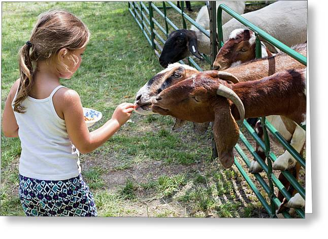 Girl Feeding Goats Greeting Card by Jim West