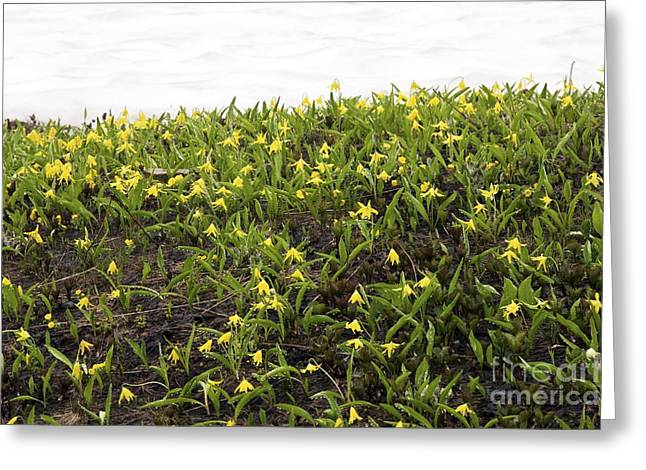 Dewdrops Greeting Cards - Glacier Lilies Erythronium Grandiflorum Greeting Card by Bob Gibbons