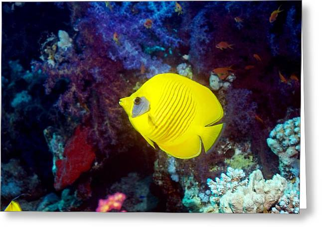Chaetodon Semilarvatus Greeting Cards - Golden Butterflyfish On A Reef Greeting Card by Georgette Douwma