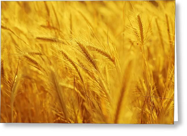 Agronomy Greeting Cards - Golden ear Greeting Card by Roksana Bashyrova