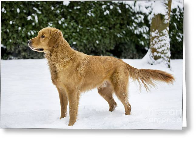 Golden Retriever In Snow Greeting Card by Johan De Meester