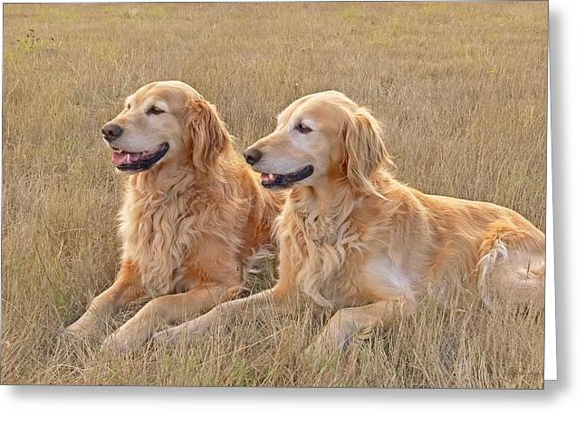 Sporting Dog Greeting Cards - Golden Retrievers in Golden Field Greeting Card by Jennie Marie Schell