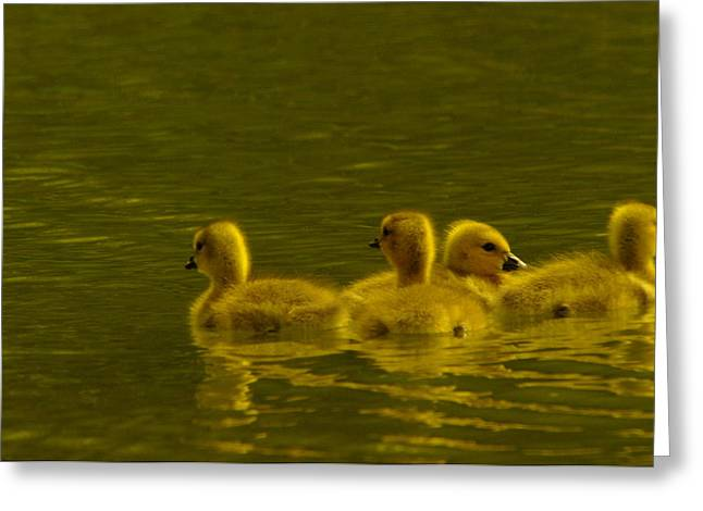 Water Fowl Greeting Cards - Goslings Greeting Card by Jeff  Swan