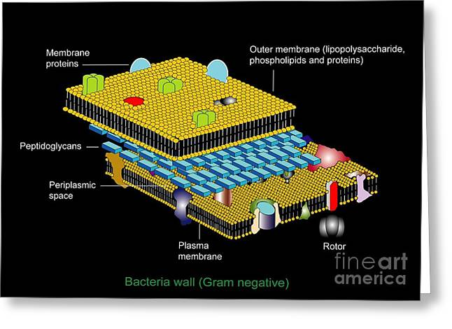 Peptidoglycan Greeting Cards - Gram Negative Cell Wall, Artwork Greeting Card by Francis Leroy, Biocosmos