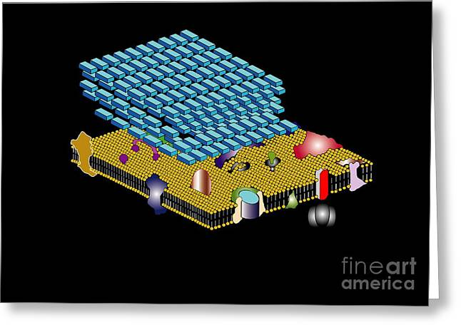 Peptidoglycan Greeting Cards - Gram Positive Cell Wall, Artwork Greeting Card by Francis Leroy, Biocosmos
