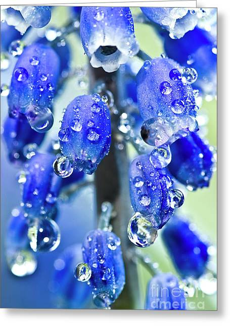 Blue Grapes Greeting Cards - Grape hyacinth muscari after the shower Greeting Card by Heiko Koehrer-Wagner