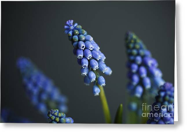 Hyacinth Greeting Cards - Grape Hyacinth Greeting Card by Nailia Schwarz