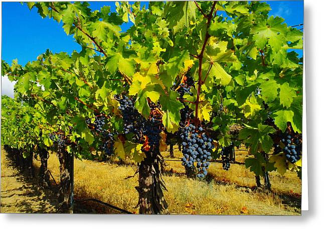 Grape Vineyard Greeting Cards - Grapes On The Vine Greeting Card by Jeff  Swan