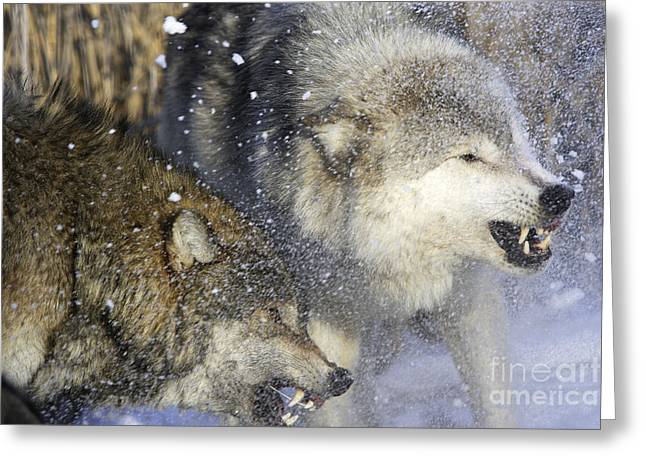 Wolf Face Greeting Cards - Gray Wolf, Canis Lupus Greeting Card by M. Watson