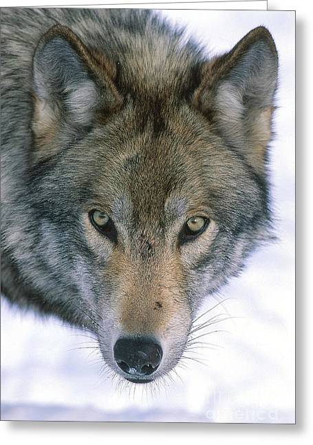 Wolf Head Greeting Cards - Gray Wolf Greeting Card by Jeffrey Lepore