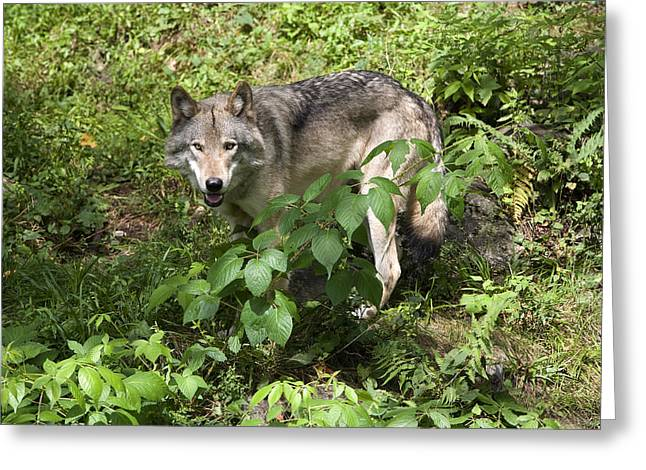 Growling Greeting Cards - Gray wolf Greeting Card by Jim  Wallace
