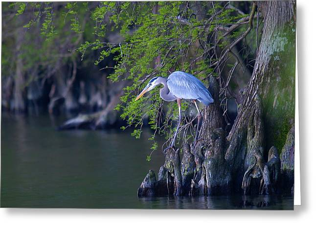Great Blue Heron Digital Art Greeting Cards - Great Blue Heron Fishing Greeting Card by J Larry Walker