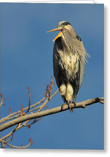 Great Birds Pyrography Greeting Cards - Great blue heron  Greeting Card by Hella Zaiser