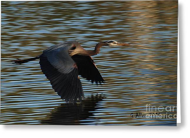 Great Birds Pyrography Greeting Cards - Great Blue Heron in flight Greeting Card by Gordon  Allen