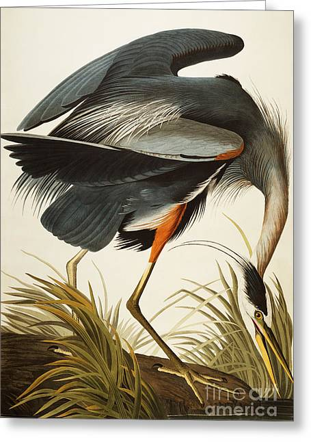 James Paintings Greeting Cards - Great Blue Heron Greeting Card by John James Audubon