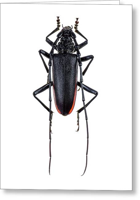 Great Capricorn Beetle Greeting Card by F. Martinez Clavel