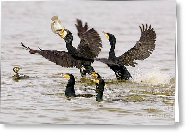 Hunting Bird Greeting Cards - Great Cormorant Phalacrocorax carbo Greeting Card by Eyal Bartov