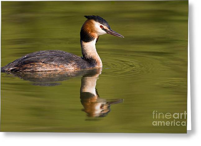 British Fauna Greeting Cards - Great-crested Grebe Greeting Card by Thomas Hanahoe