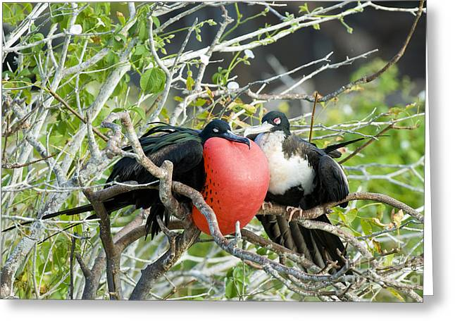 Seabirds Greeting Cards - Great Frigatebird Pair Greeting Card by William H. Mullins
