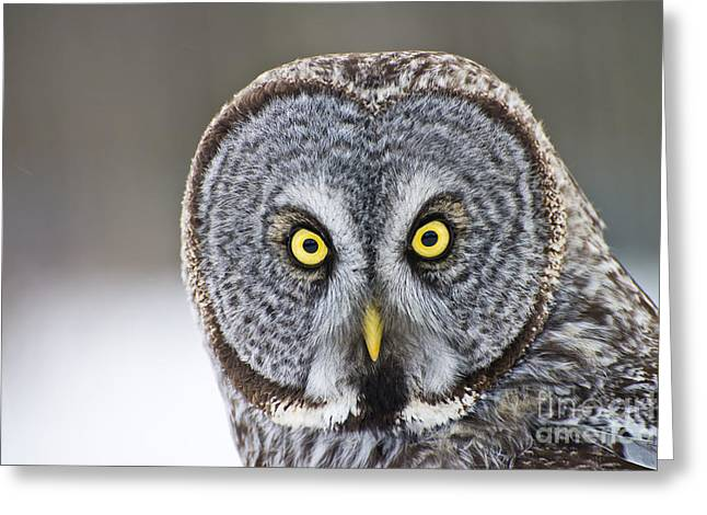 Michael Cummings Greeting Cards - Great Gray Owl Portrait Greeting Card by Michael Cummings
