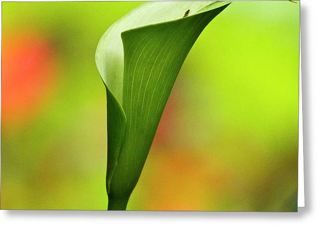 Calla Lily Greeting Cards - Green Calla Lily Greeting Card by Heiko Koehrer-Wagner