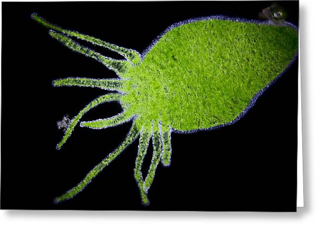 Aquatic Greeting Cards - Green hydra, light micrograph Greeting Card by Science Photo Library