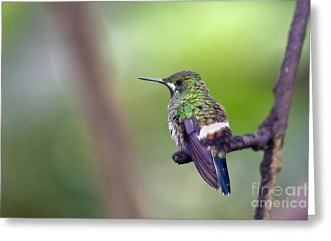 Green Thorntail Greeting Card by Jean-Luc Baron