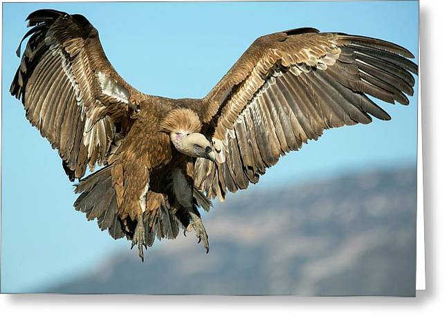 Griffon Vulture Flying Greeting Card by Nicolas Reusens