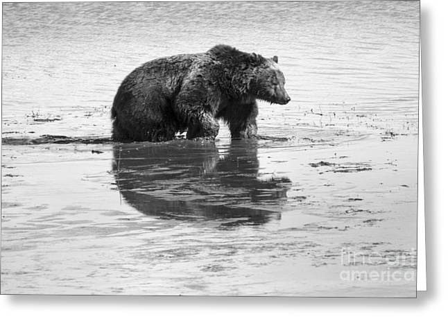 Mud Season Greeting Cards - Grizzly Bear in Muddy Water Greeting Card by Mike Cavaroc