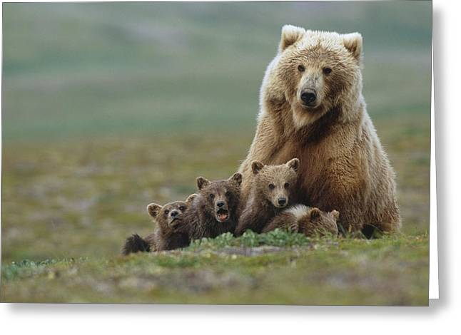 Recently Sold -  - Caring Mother Greeting Cards - Grizzly Bear Sow W4 Young Cubs Near Greeting Card by Eberhard Brunner