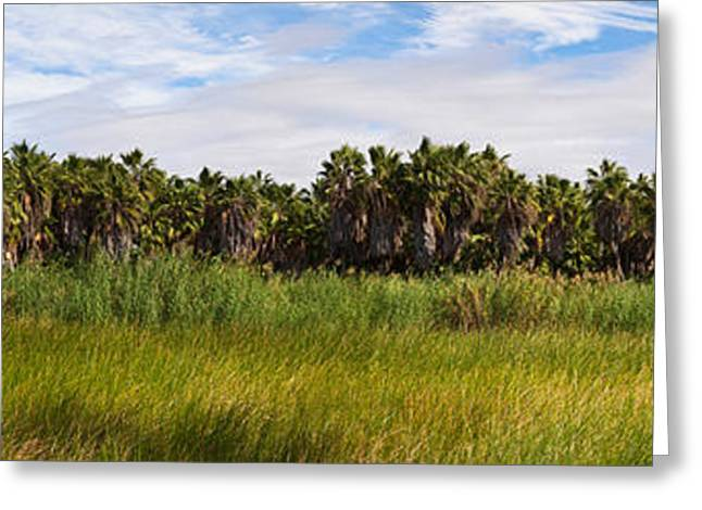 Baja California Greeting Cards - Grove Of Mexican Fan Palm Washingtonia Greeting Card by Panoramic Images