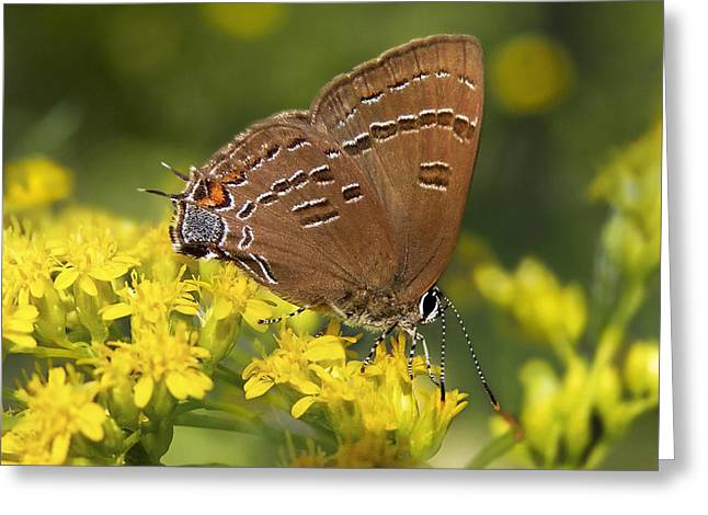 Butterfly On Flower Greeting Cards - Hairstreak Butterfly Greeting Card by Christina Rollo