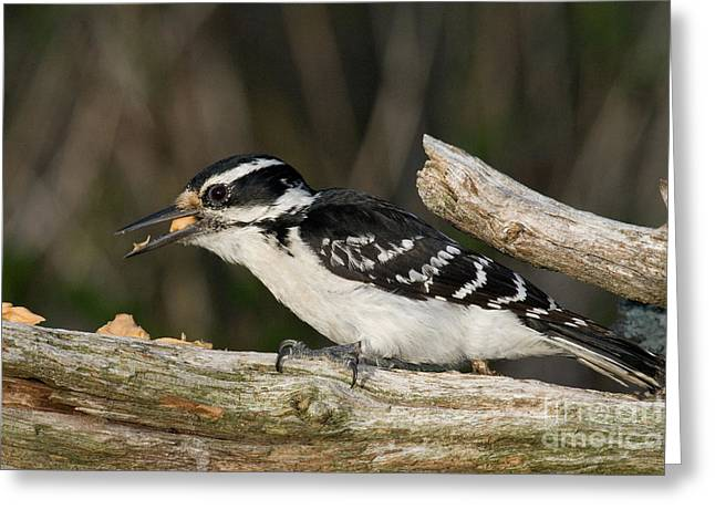 Hairy Woodpecker Greeting Cards - Hairy Woodpecker Greeting Card by Linda Freshwaters Arndt