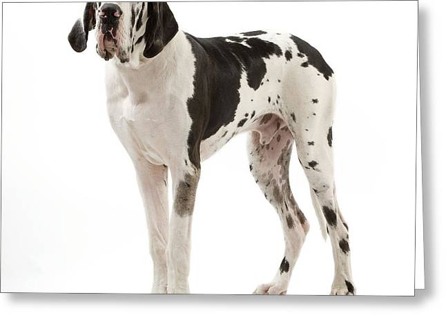 Droopy Greeting Cards - Harlequin Great Dane Greeting Card by Jean-Michel Labat