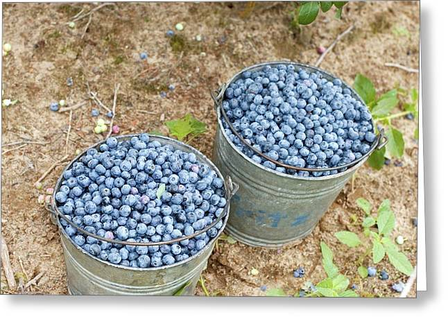 Harvested Blueberries Greeting Card by Jim West