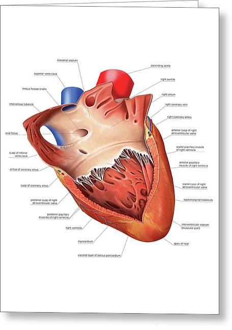 Heart Atrium And Ventricle Greeting Card by Asklepios Medical Atlas