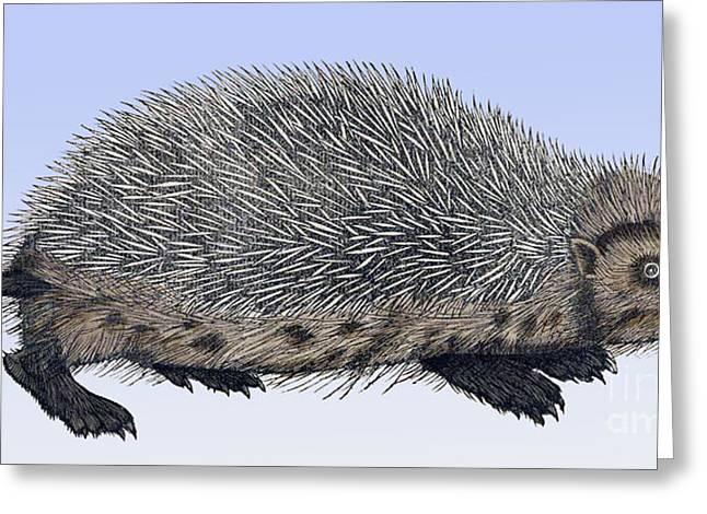 Color Enhanced Greeting Cards - Hedgehog, Historiae Animalium, 16th Greeting Card by Science Source