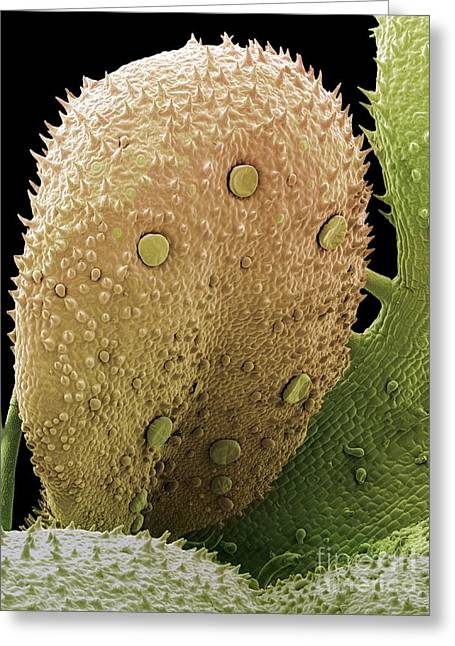 Antiseptic Greeting Cards - Herb Oil Glands, Sem Greeting Card by Steve Gschmeissner