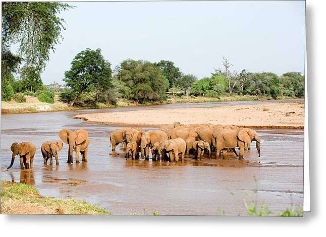 National Reserve Greeting Cards - Herd Of African Elephants Loxodonta Greeting Card by Panoramic Images