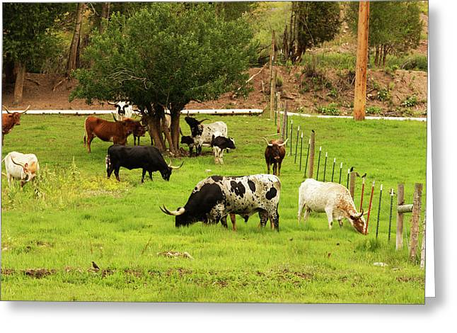 Herd Of Texas Longhorn Cattle In Green Greeting Card by Piperanne Worcester