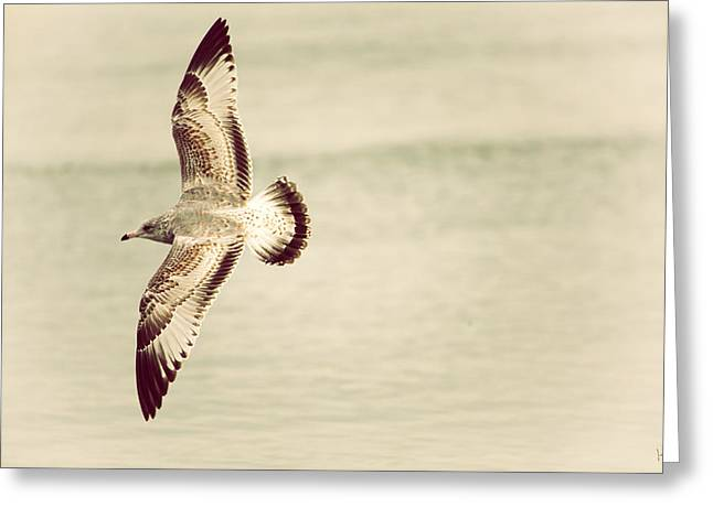 Connecticut Wildlife Greeting Cards - Herring Gull in Flight Greeting Card by Karol  Livote