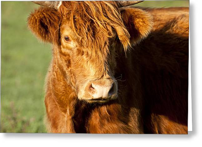 HIghland Cow Greeting Card by Brian Jannsen