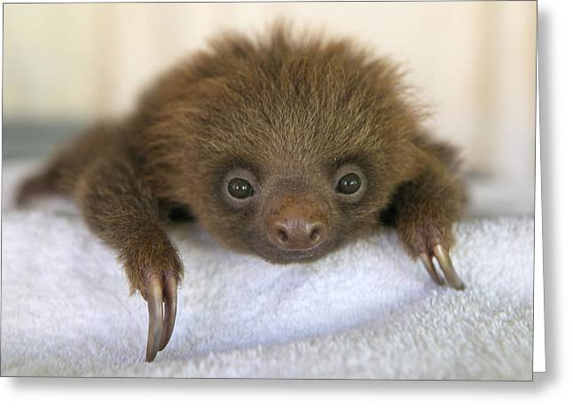 Aviarios Sloth Sanctuary Greeting Cards - Hoffmanns Two-toed Sloth Orphan Greeting Card by Suzi Eszterhas